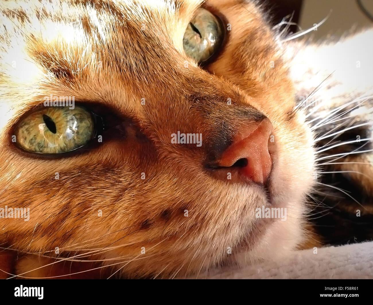 Bengal cat: Snoozing bengal cat head closeup - Stock Image