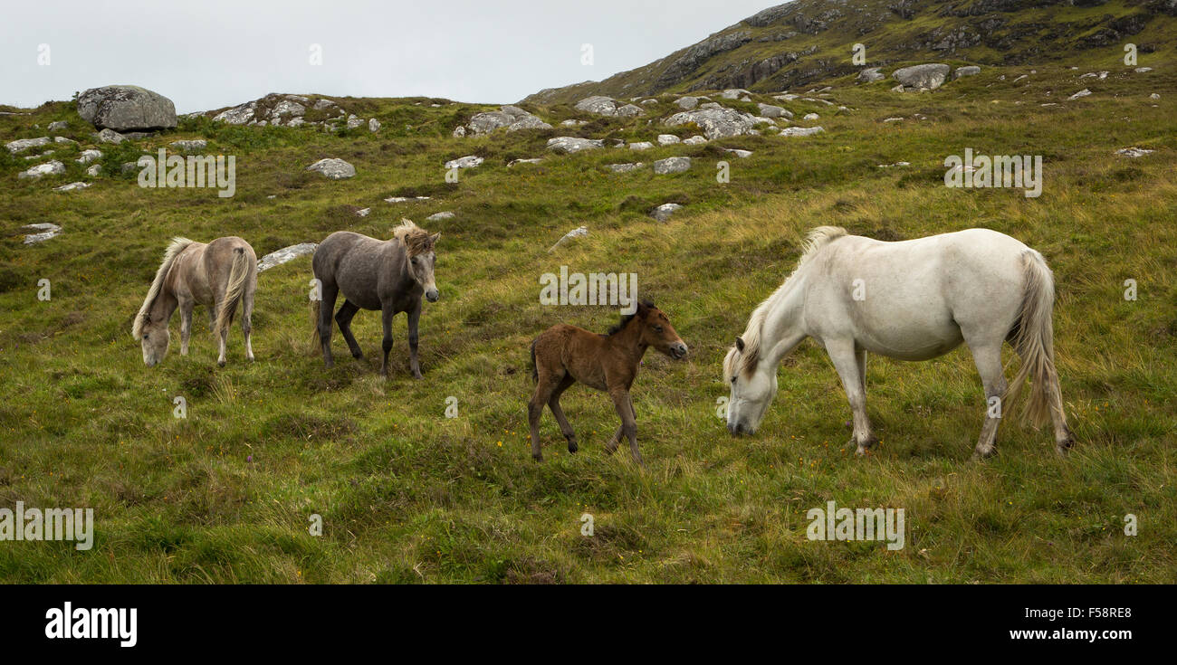 Eriskay ponies including a young foal on Eriskay, Outer Hebrides, Scotland - Stock Image