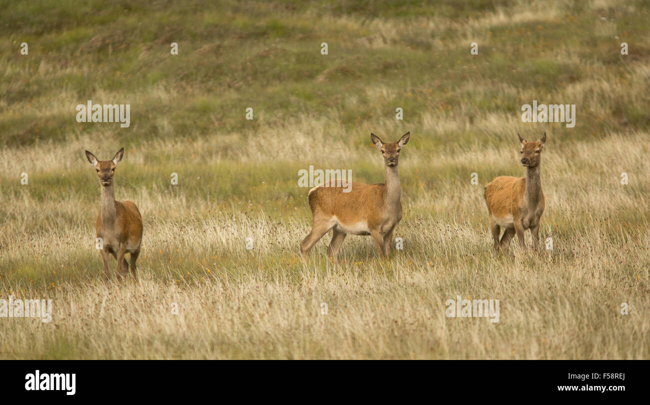 Three red deer hinds in long grass on the Outer Hebrides, Scotland - Stock Image