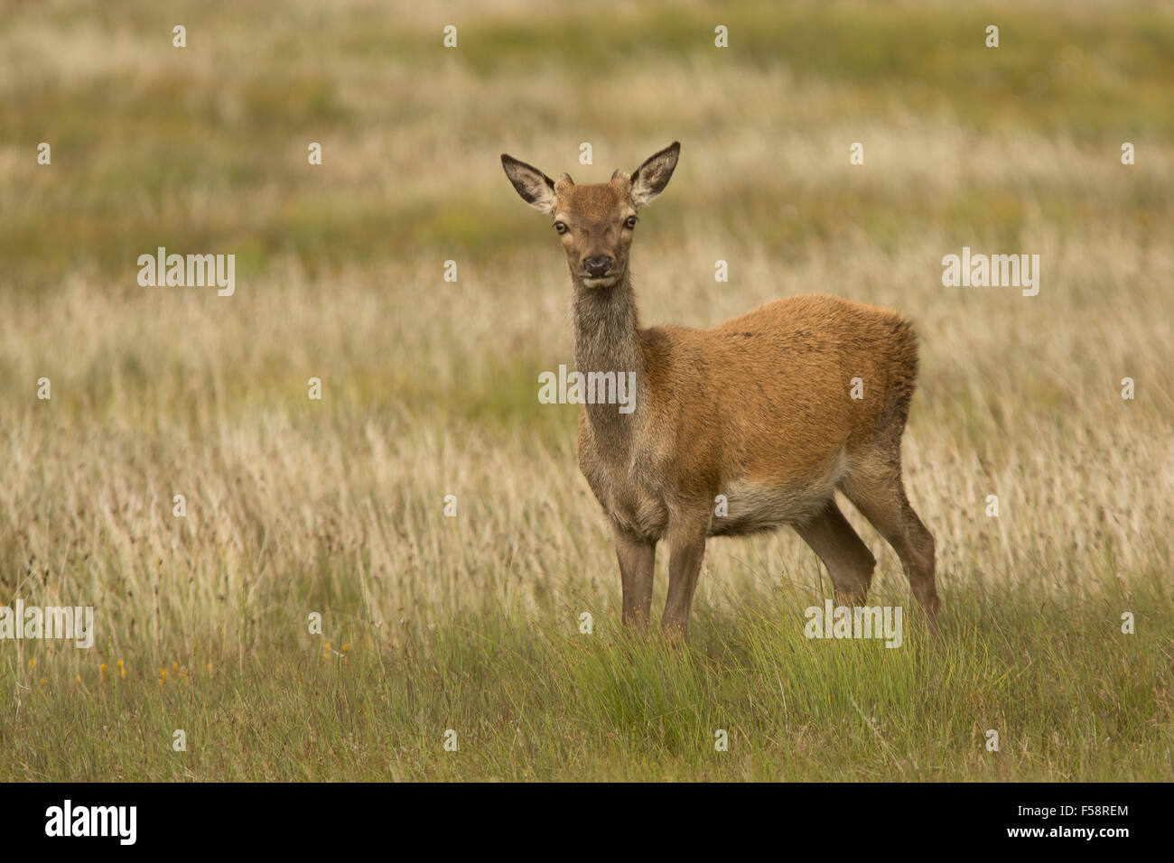 a red deer hind stands alert in the grass on the Outer Hebrides, Scotland - Stock Image