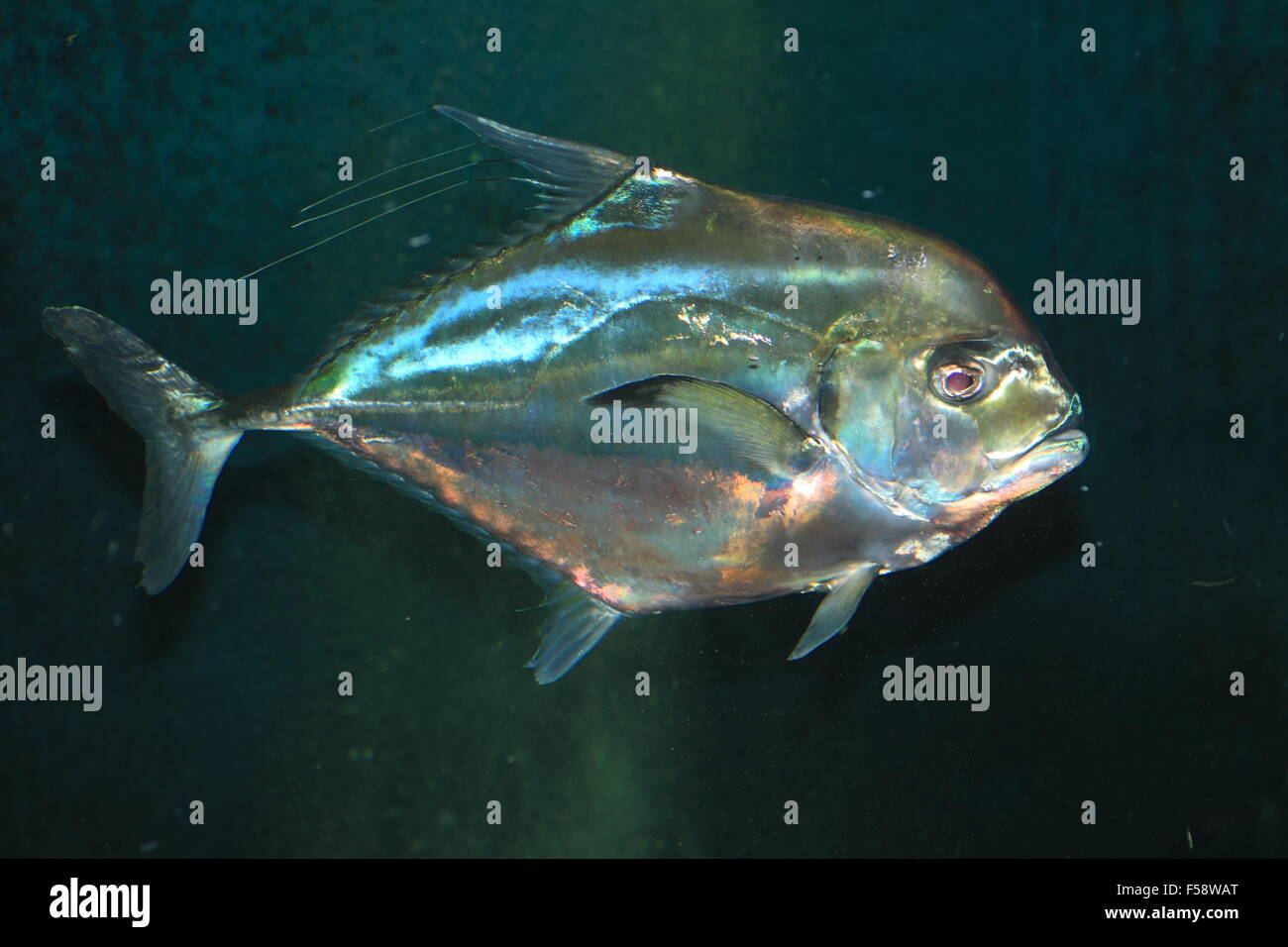 African pompano (Alectis ciliaris) in Japan - Stock Image