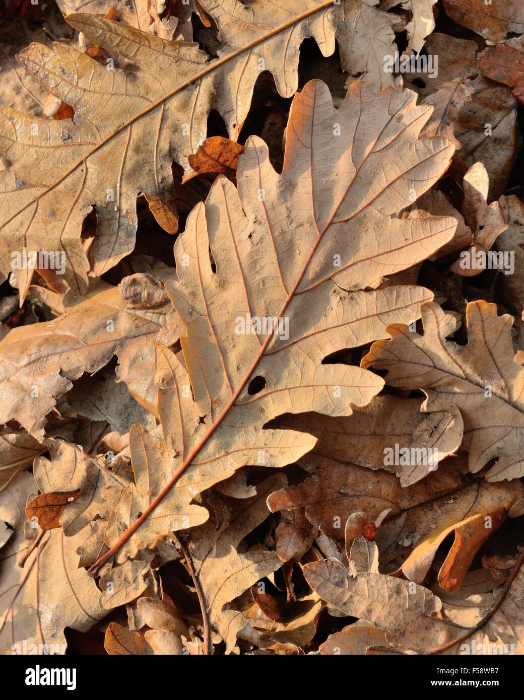 Dry brown oak leaves on the ground during Autumn in Scotland, UK, BHZ - Stock Image