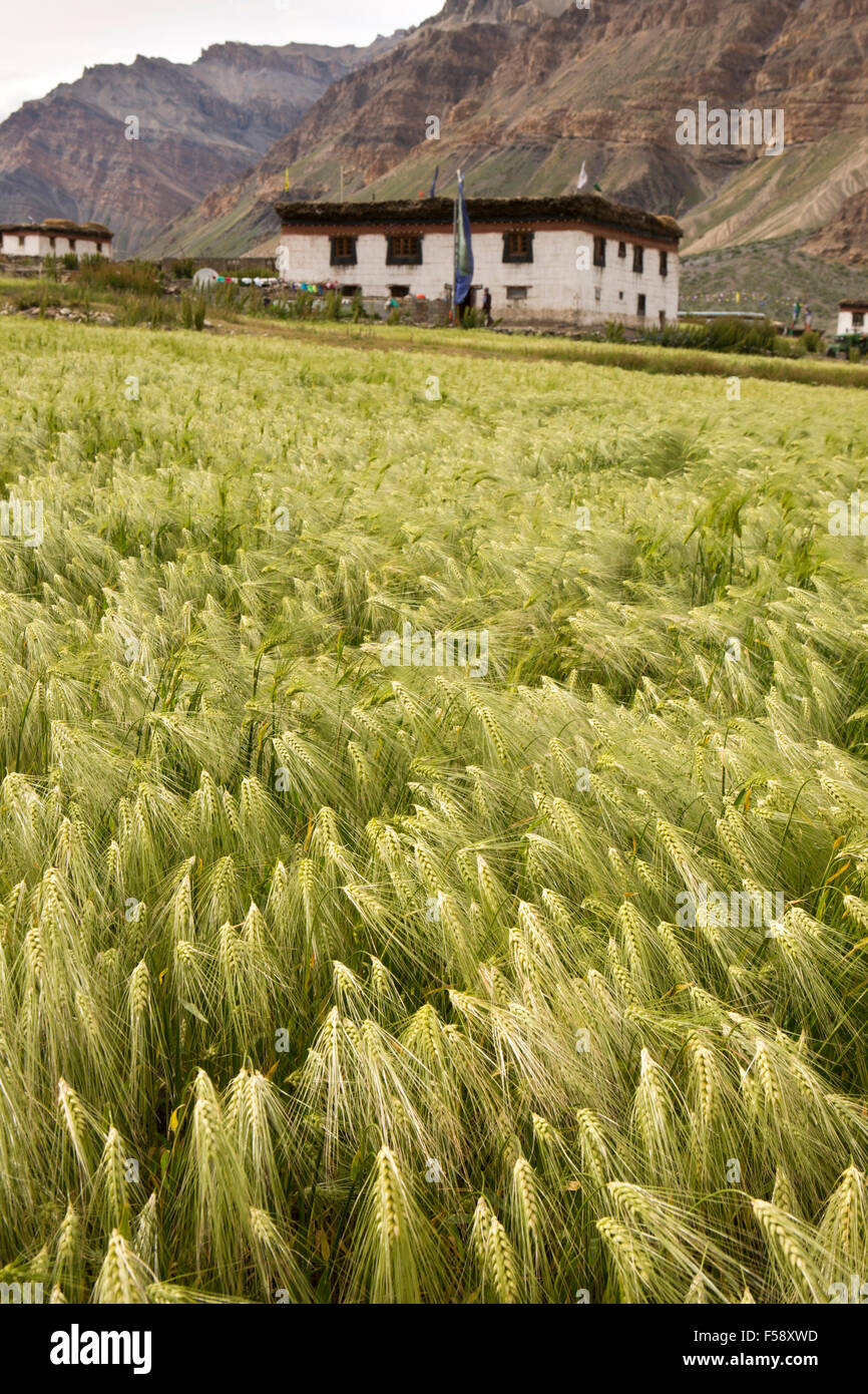 India, Himachal Pradesh, Spiti Valley, Losar village, field of barley and traditional farm house - Stock Image