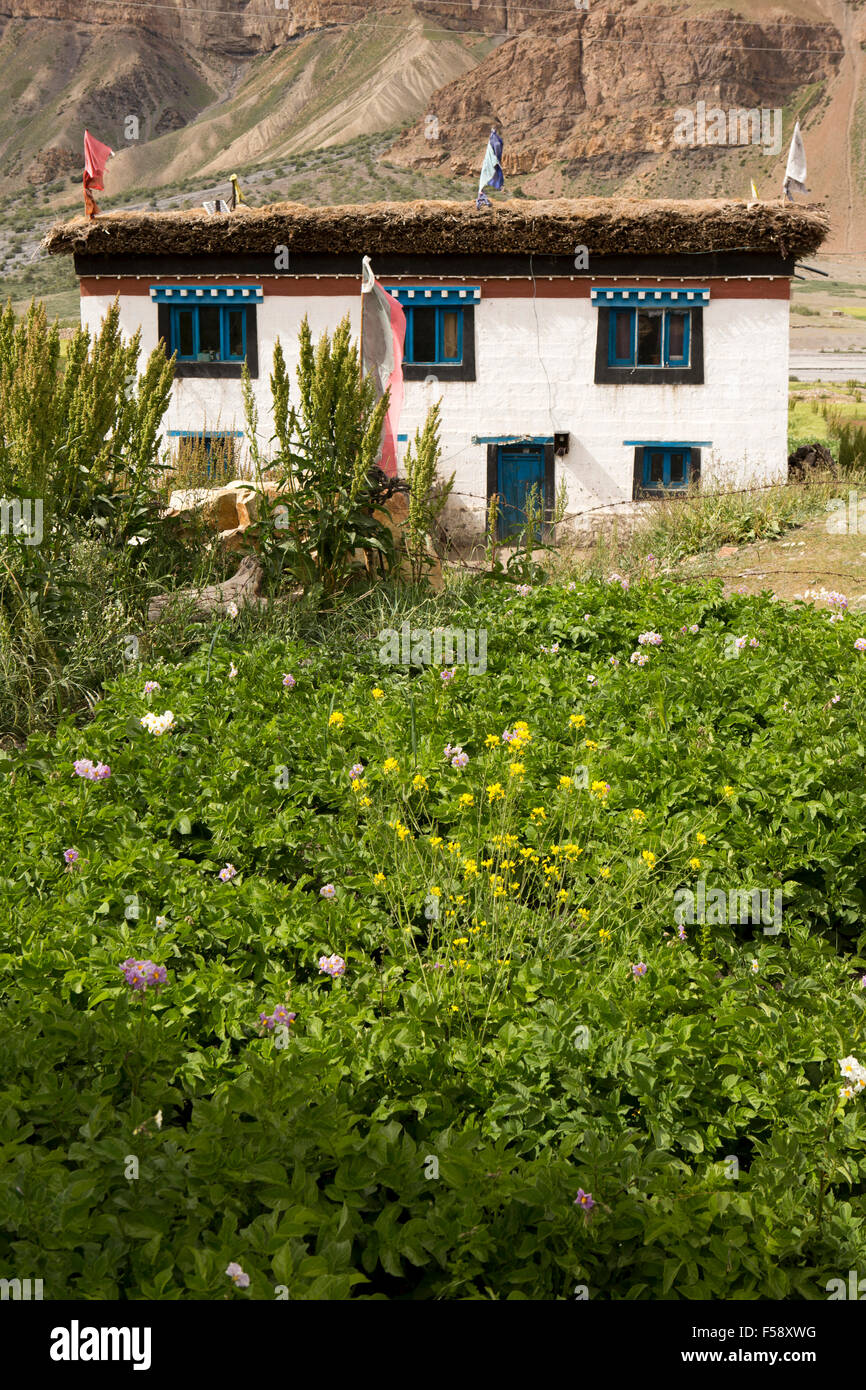 India, Himachal Pradesh, Spiti Valley, Losar village, crop of potatoes growing in front of traditional farm house - Stock Image