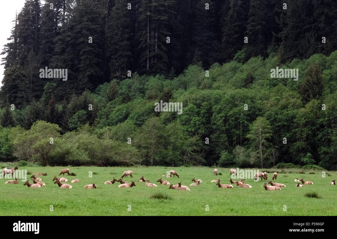 A herd of rare Roosevelt Elk (Cervus elaphus roosevelti) relax and graze in a green meadow at the edge of the forest in Prairie Creek Redwood State Park in Humbolt County, California, USA. Thanks to preservation of their habitat and protection in the park from hunters, the number of these magnificent animals has grown from 15 to more than 1,000 in the past century. Stock Photo