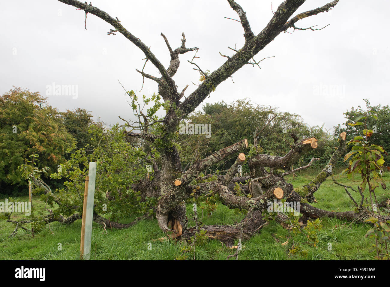 Fallen oak tree, Quercus robur, with sparse foliage rotten and killed by several fungal pathogens, Berkshire, September - Stock Image