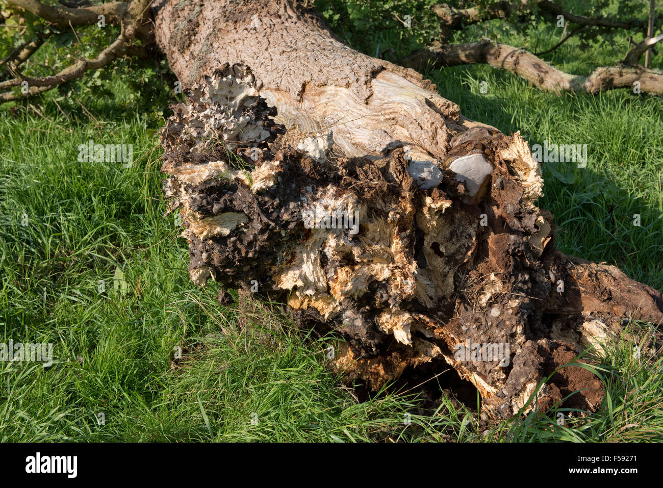 Fallen oak tree rotting and killed by several fungal pathogens with fruit bodies formed at its base, September - Stock Image