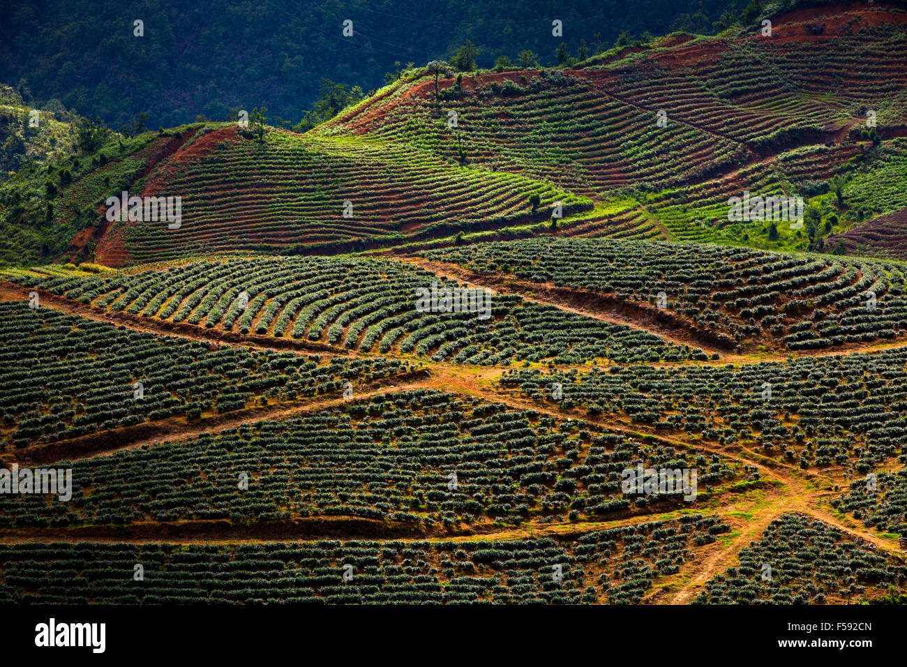 Rose plantations in the mountains near Sapa village, Northern Vietnam. - Stock Image
