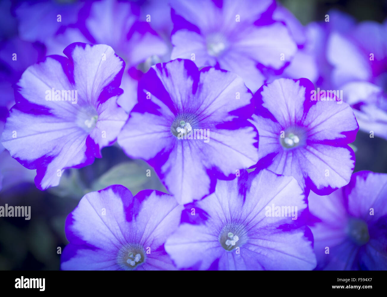 Photo of purple light blue and white flowers in artistic colour photo of purple light blue and white flowers in artistic colour tones with shallow depth of focus and out of focus background shot in garden in madrid mightylinksfo