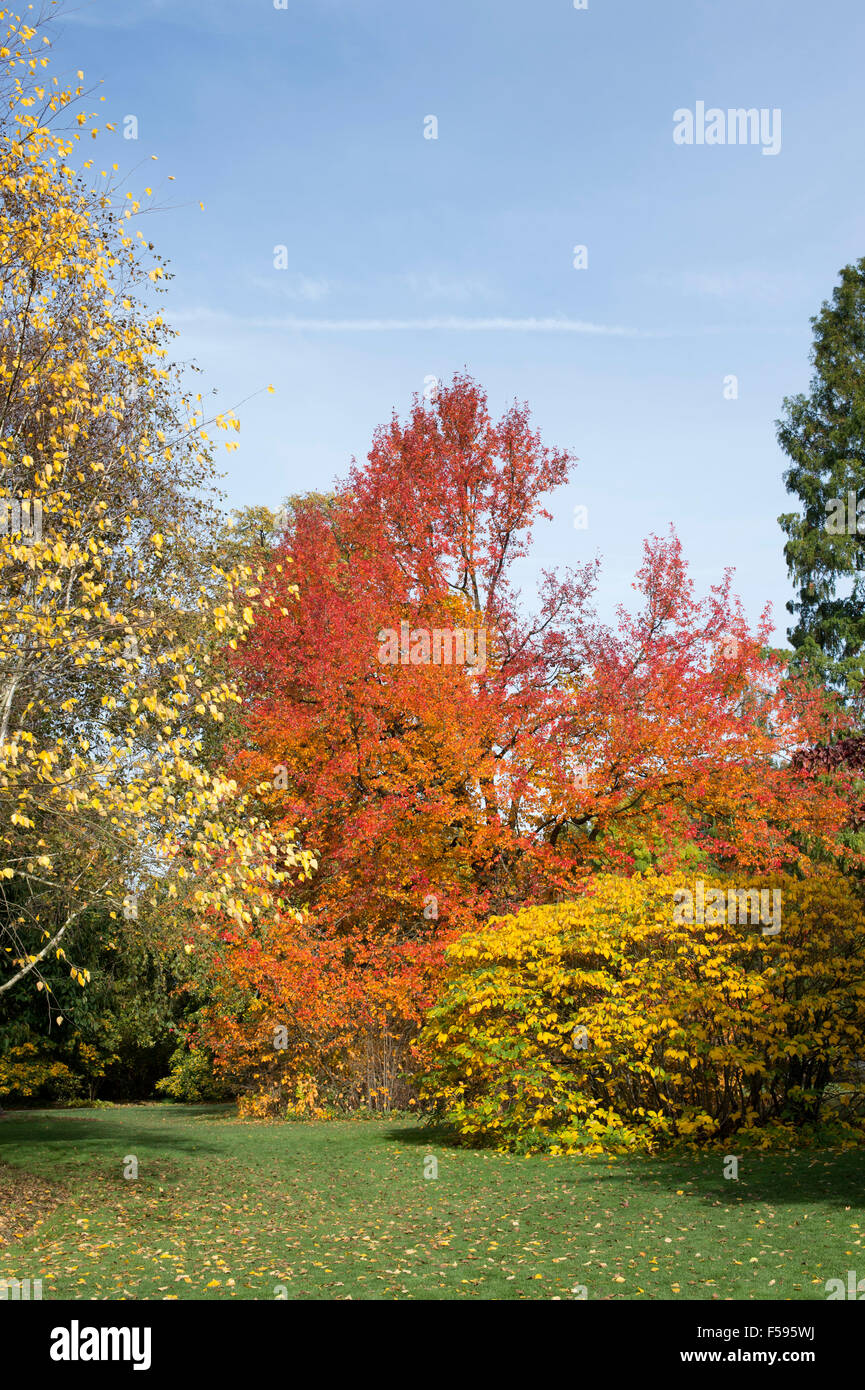 Black gum 'Wisley Bonfire' tree and autumn colours at RHS Wisley Gardens, Surrey, England - Stock Image