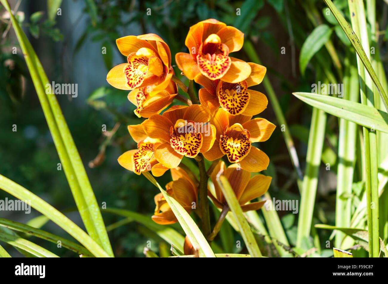 Phalaenopsis orchid in the National Kandawgyi Botanical Gardens of Pyin Oo Lwin (Maymyo), Mandalay Region, Myanmar. Stock Photo