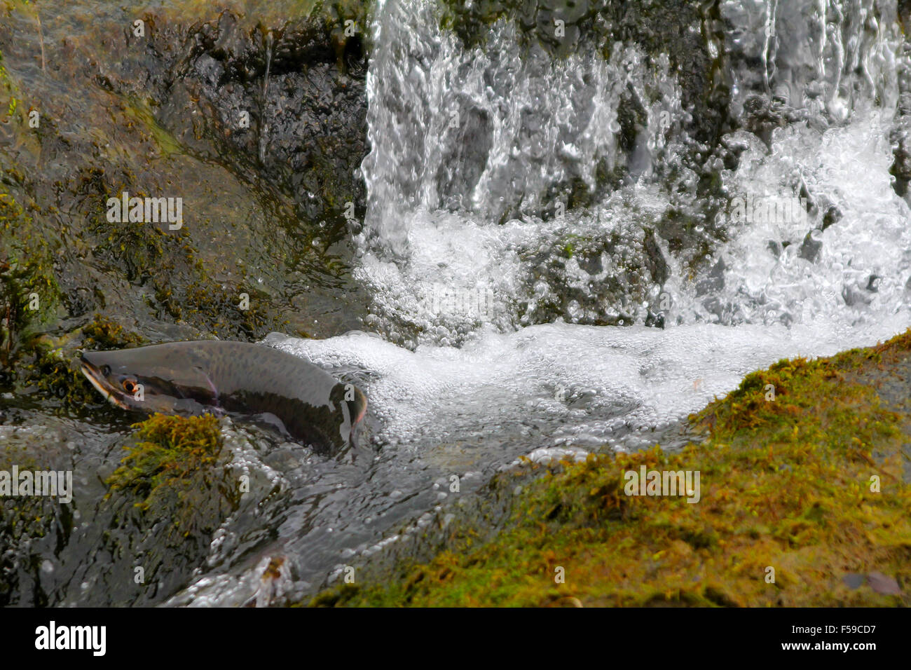 hunchback salmon has directed to a spawning place - Stock Image