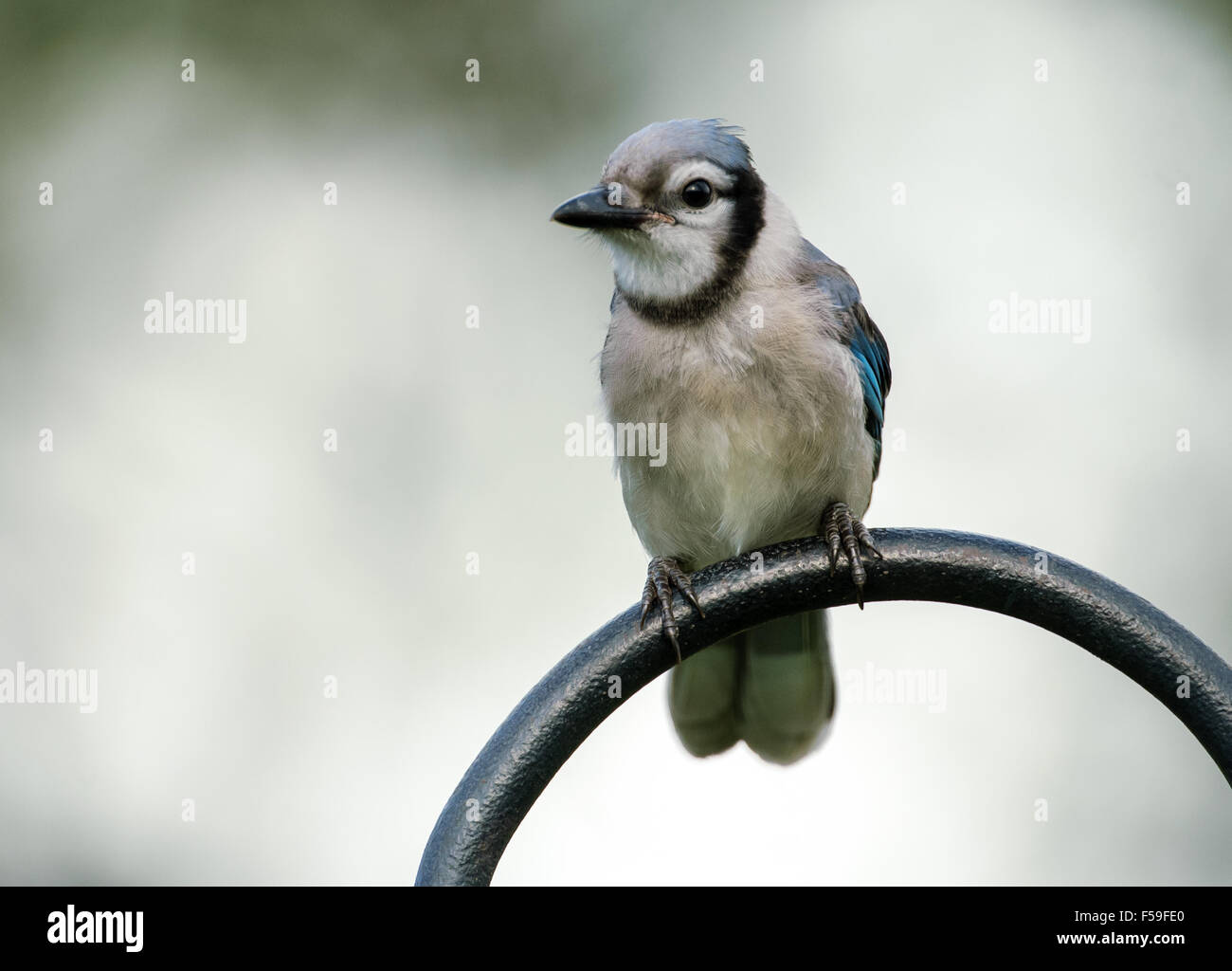Blue Jay (Cyanocitta cristata), Garden Wellington, Florida, USA Stock Photo