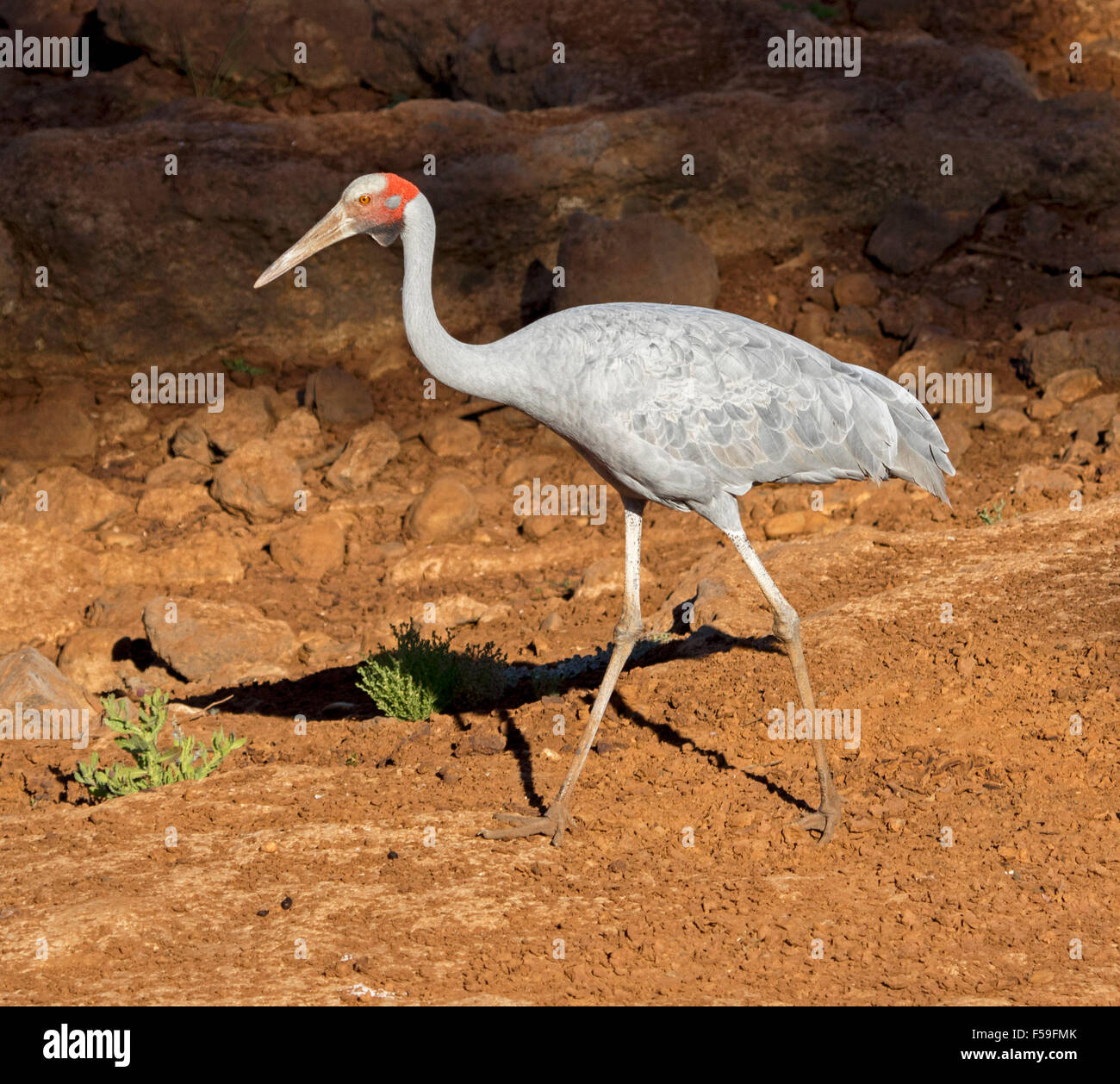Brolga, Australian crane, Grus rubicunda, large elegant grey bird walking on dry red soil of bed of river in outback - Stock Image