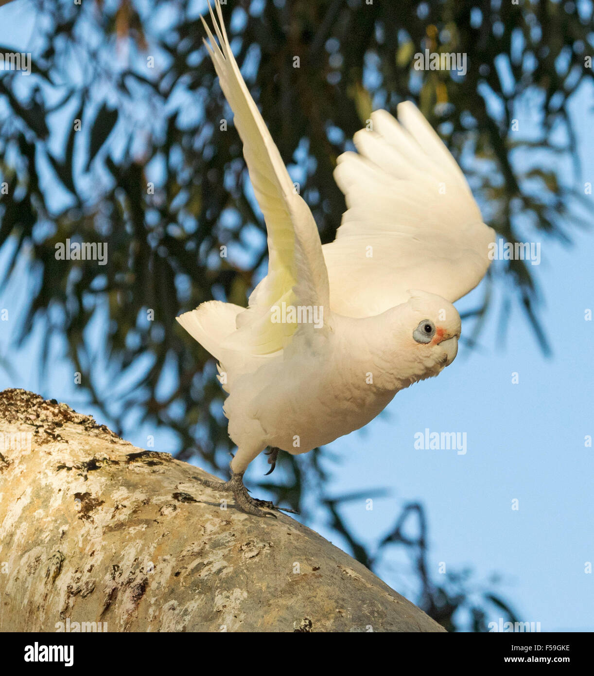 Little corella Cacatua sanguinea, white cockatoo taking to the air from log with wings spread out against blue sky, Stock Photo