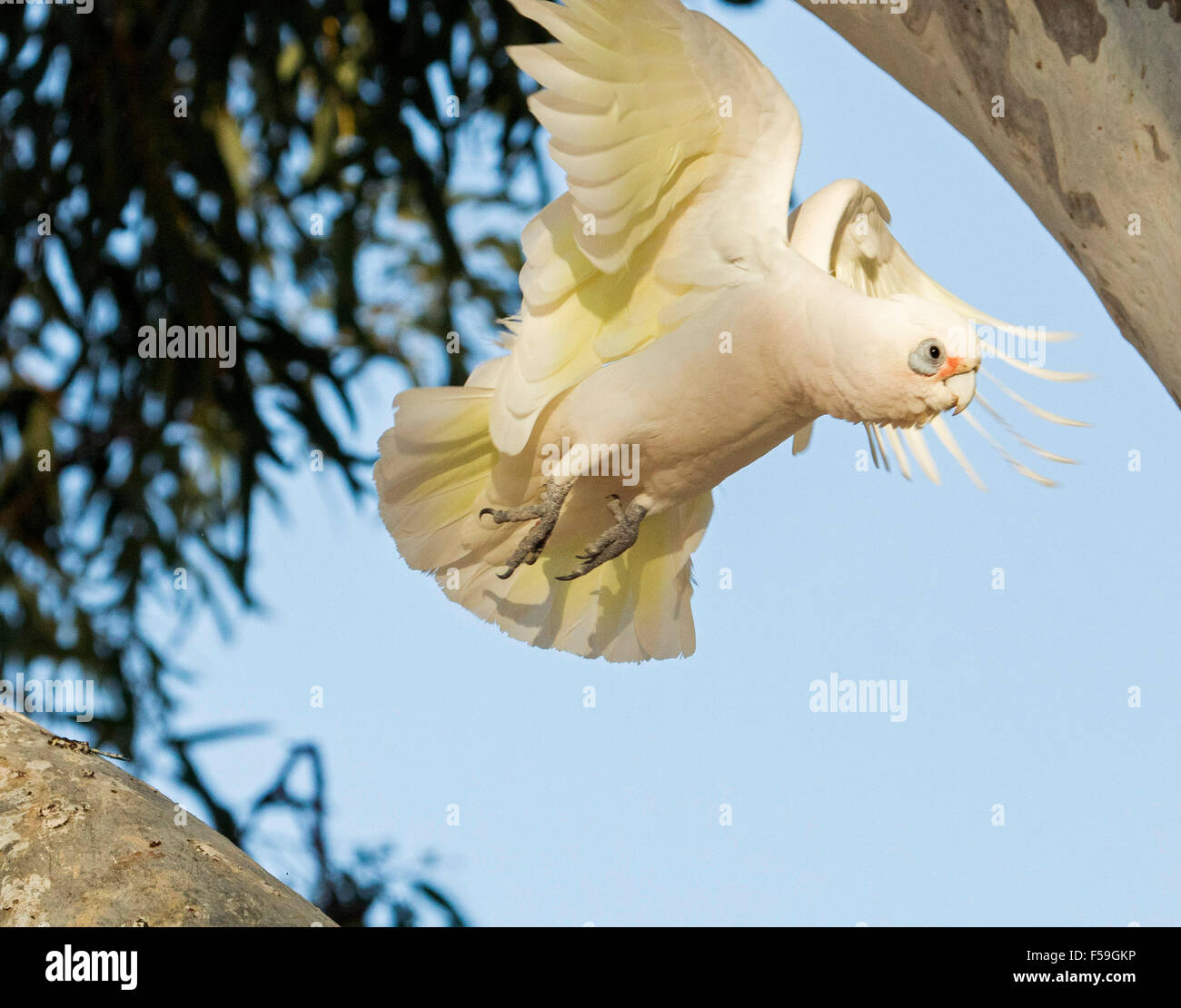 Little corella, Cacatua sanguinea, white cockatoo in flight with yellow feathers under wings, against blue sky in - Stock Image