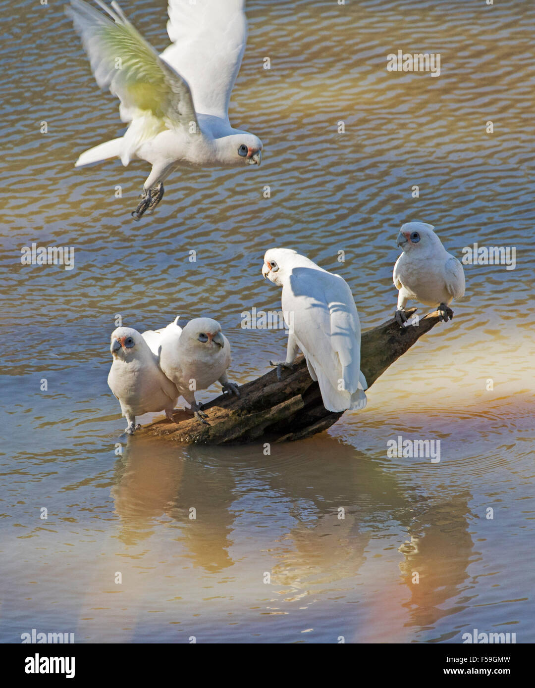 Group of little corellas, Cacatua sanguinea, white cockatoos flying above & standing on log in water of creek - Stock Image
