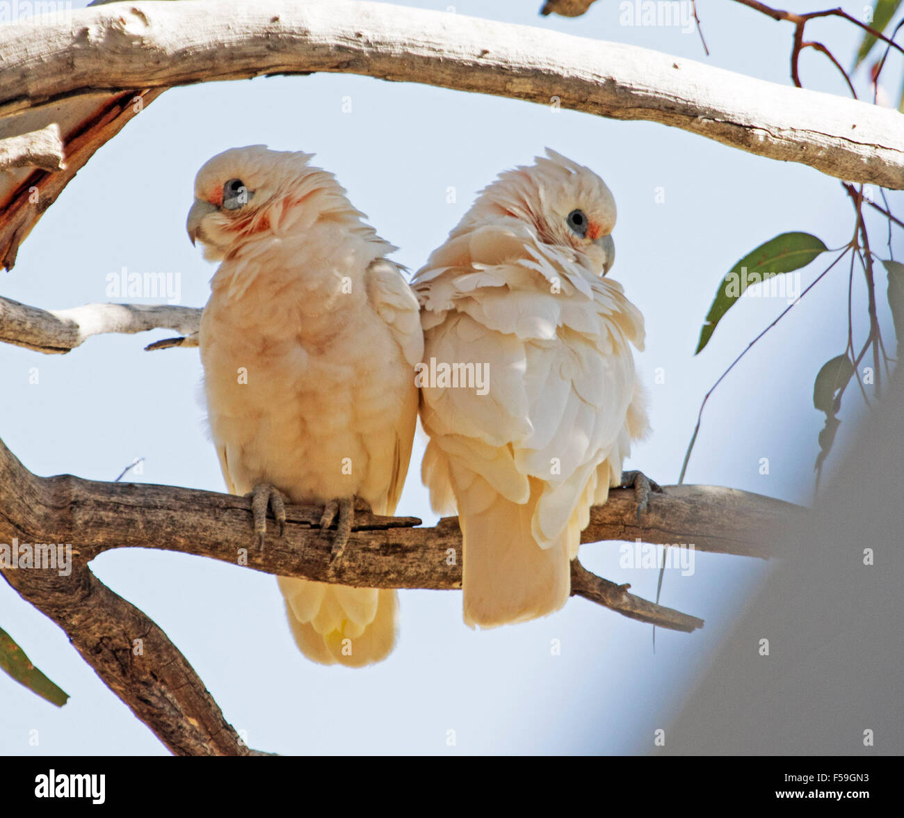Pair of little corellas, Cacatua sanguinea, white cockatoos roosting on tree branch against blue sky in outback - Stock Image
