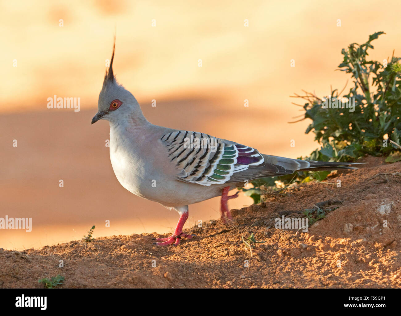 Colourful crested pigeon, Ocyphaps lophotes, Australian native bird with vivid red legs & decorative striped - Stock Image