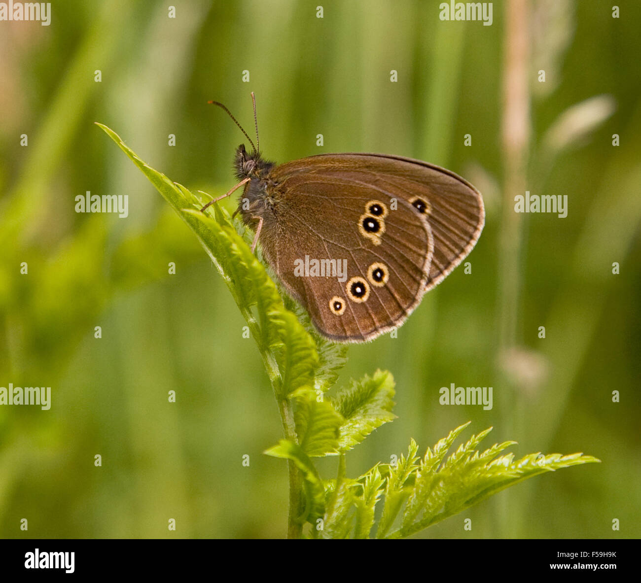 Ringlet Butterfly , Ahantopus hyperantus, In Delamere Forest ,Cheshire, England. - Stock Image