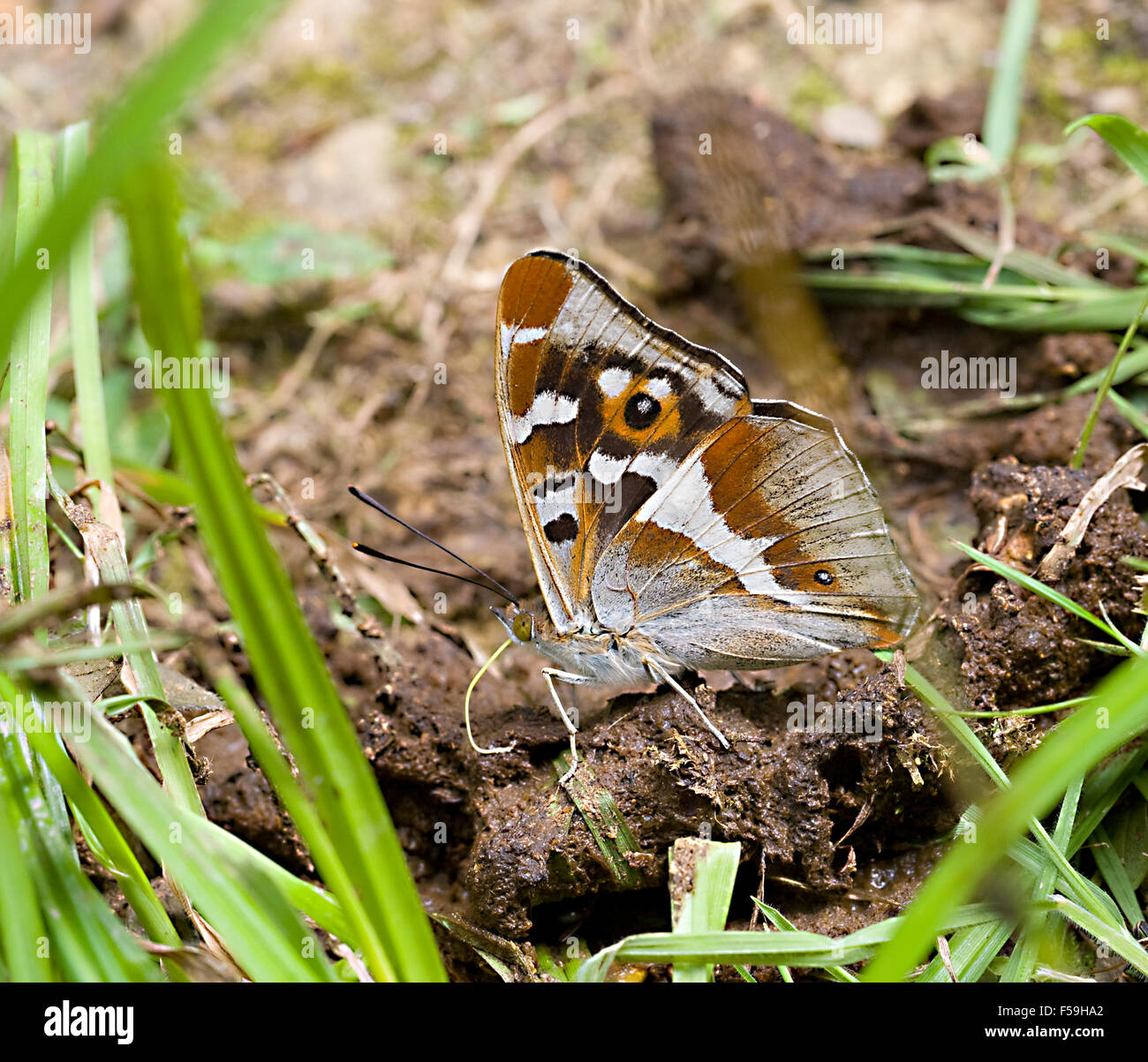 Purple emperor (Apatura iris) butterfly in Fermyn woods Brigstock country park nature reserve  Northamptonshire - Stock Image