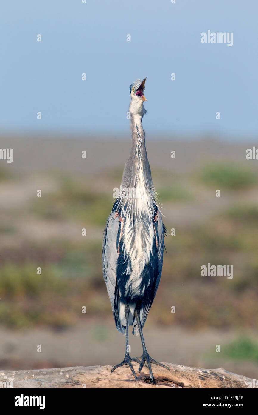 Great Blue Heron Stretching Neck and Yawning - Stock Image