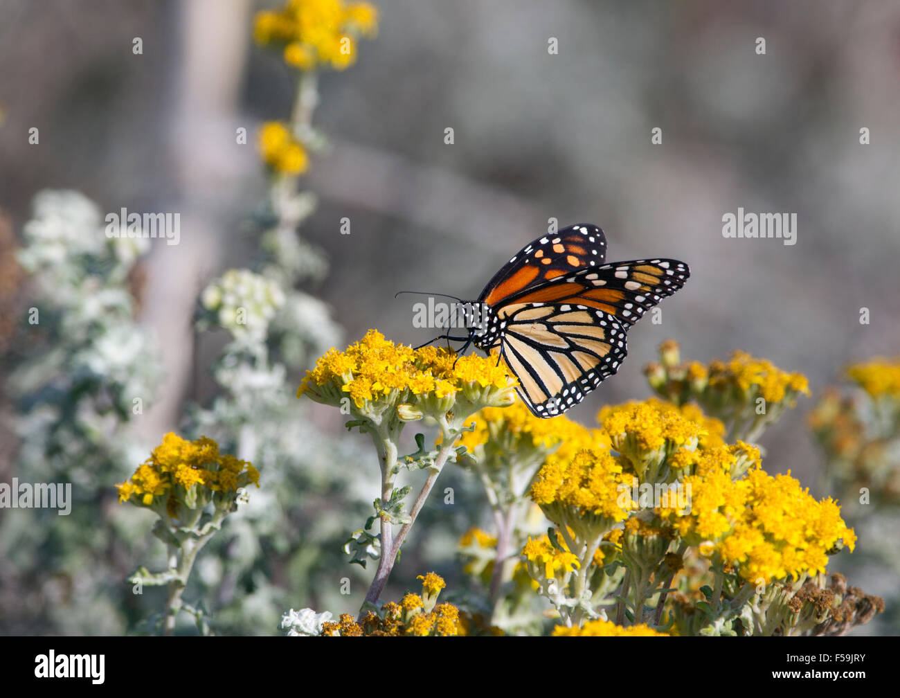 Monarch Butterfly on Yellow Flower - Stock Image