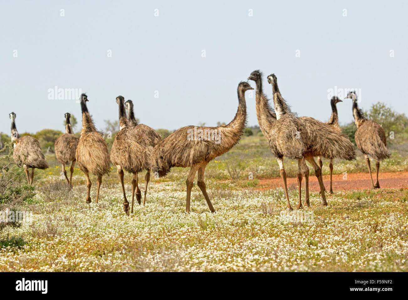 Flock of emus wandering across landscape with carpet of low white wildflowers in Flinders Ranges outback Sth Aust - Stock Image