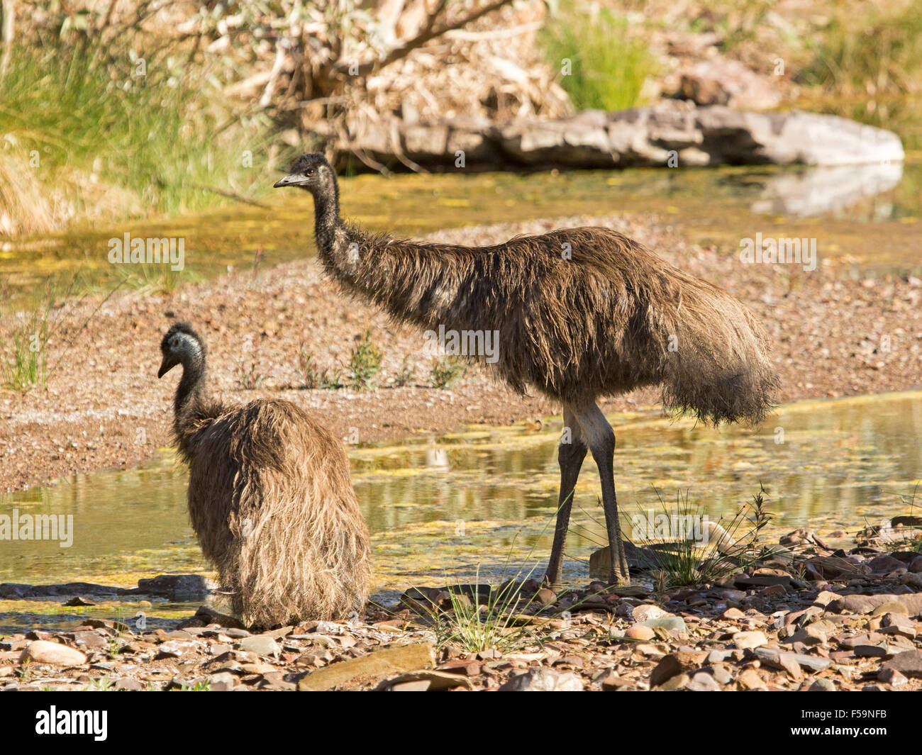 Two emus, one sitting down, beside rocky waterhole near Mount Chambers gorge in Flinders Ranges in outback South - Stock Image