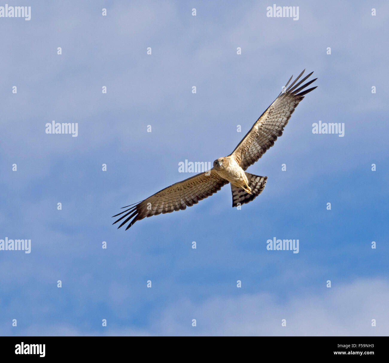 Spotted harrier, Circus assimilis , bird of prey in flight with wings spread out against blue sky in outback Australia Stock Photo