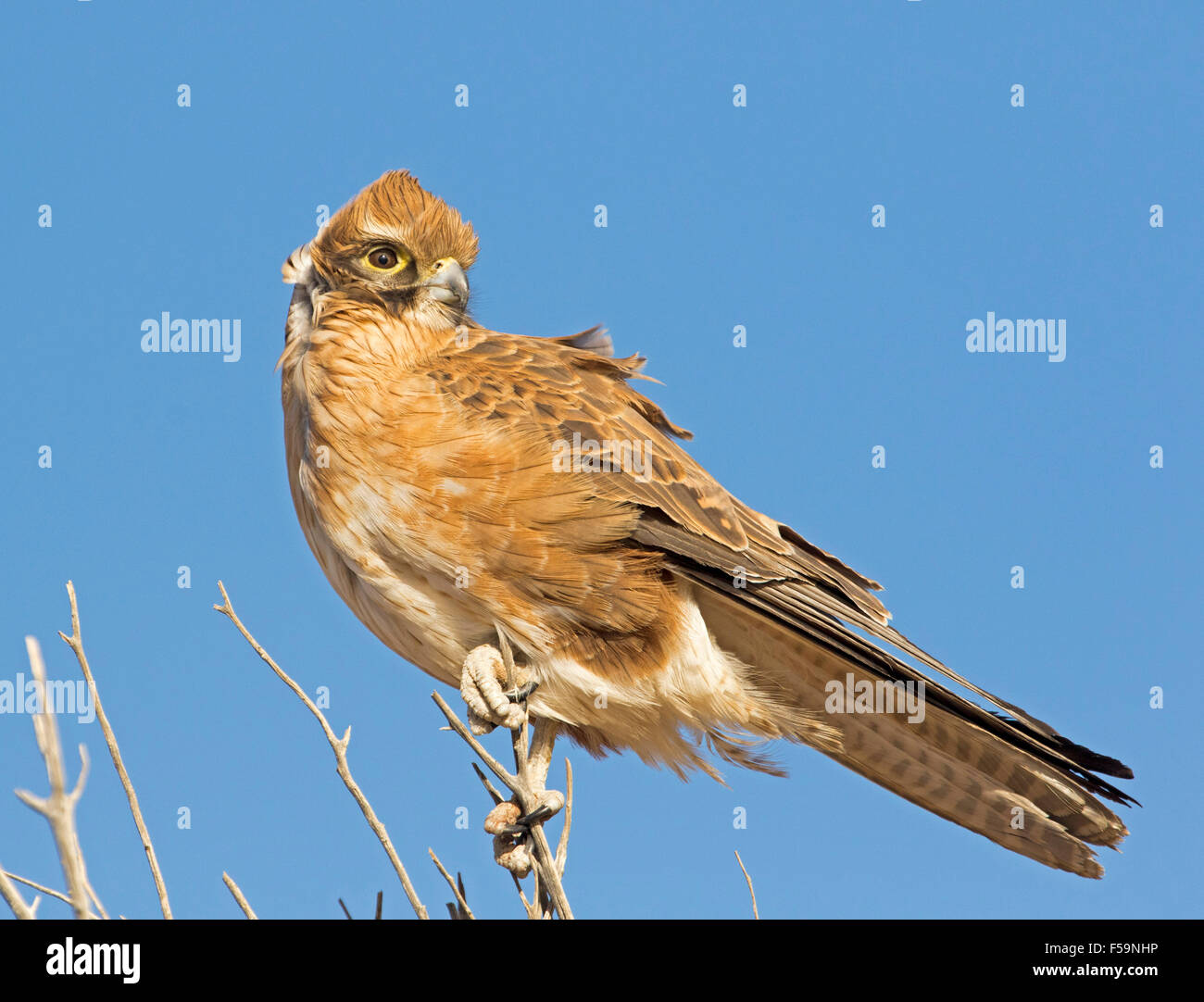 Australian nankeen kestrel, Falco cenchroides, golden brown bird of prey on dead  tree against blue sky in outback - Stock Image
