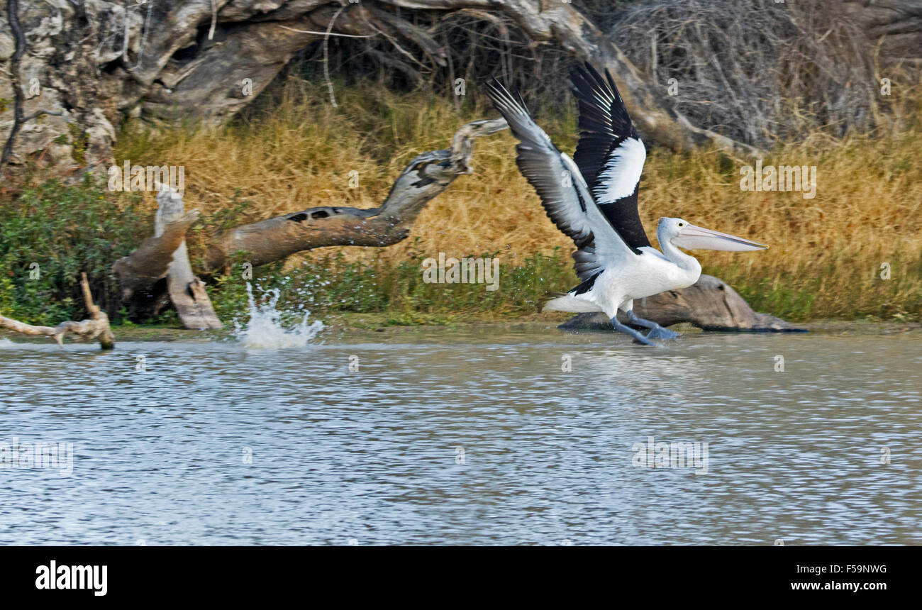 Pelican, with wings extended, landing with splash on calm water of Cooper Creek,  Coongie Lakes National Park, outback - Stock Image