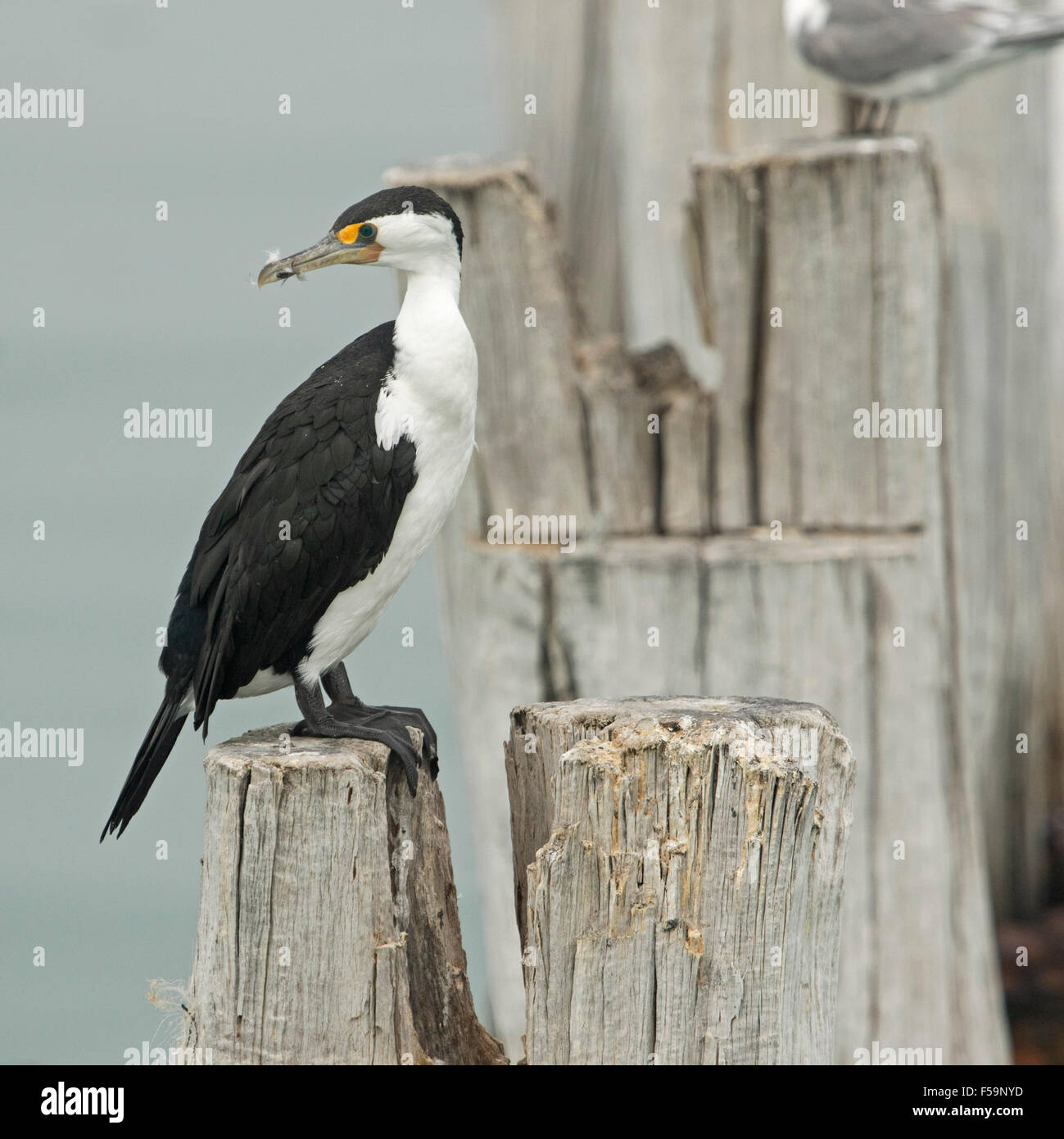 Pied cormorant, Phalacrocorax varius, with immaculate black & white plumage, perched on weathered wooden jetty post Stock Photo
