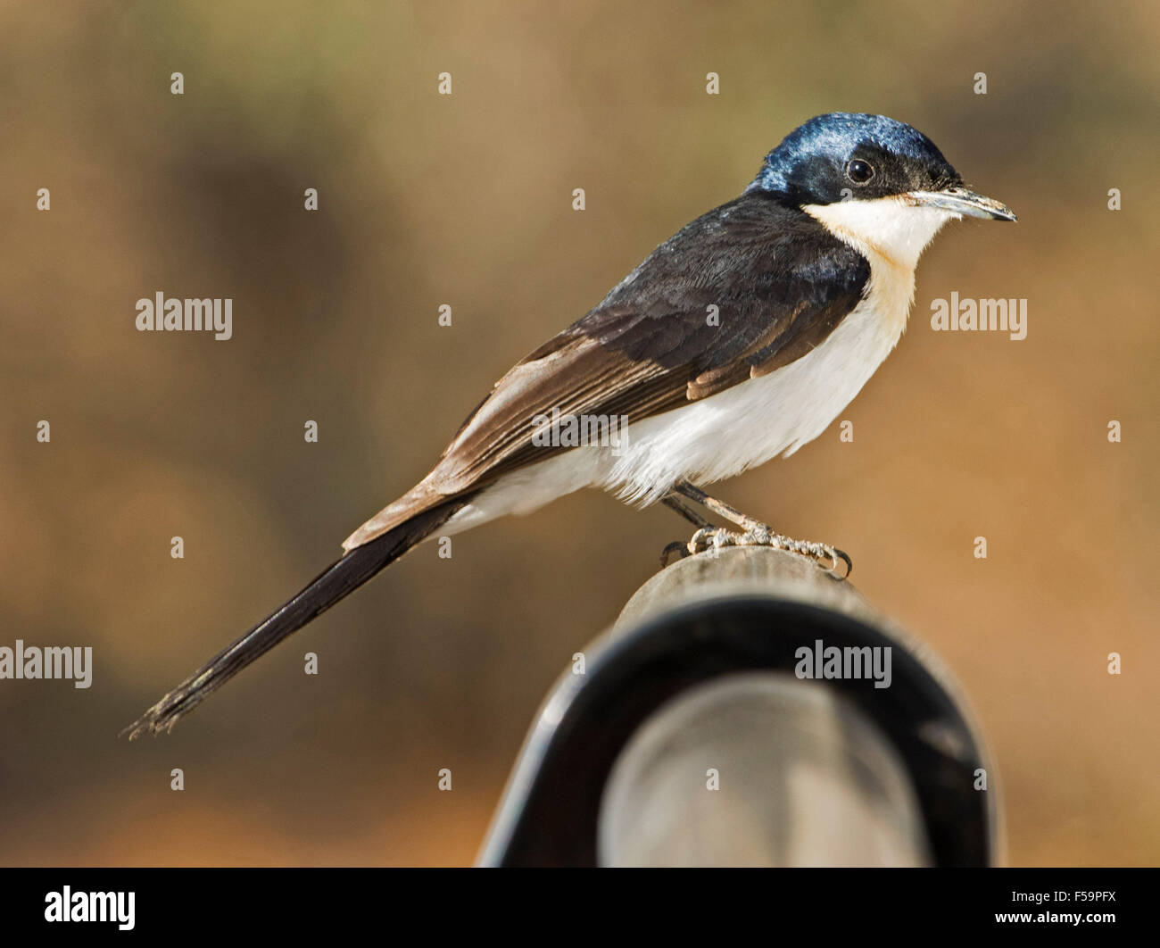 Restless flycatcher, Myiagra inquieta, black & white bird with shiny plumage against light brown background - Stock Image