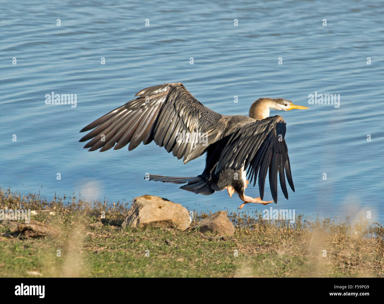 Australian snake-necked darter Anhinga novaehollandiae with wings extended taking to the air over blue water of - Stock Image