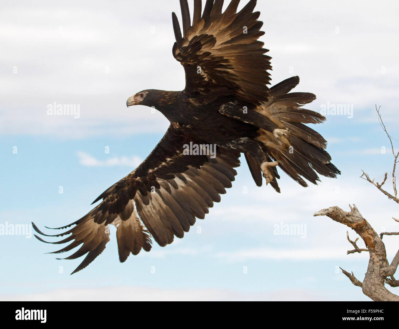 Stunning view of majestic wedge-tailed eagle, Aquila audax, in flight, huge wings extended against blue sky in outback - Stock Image
