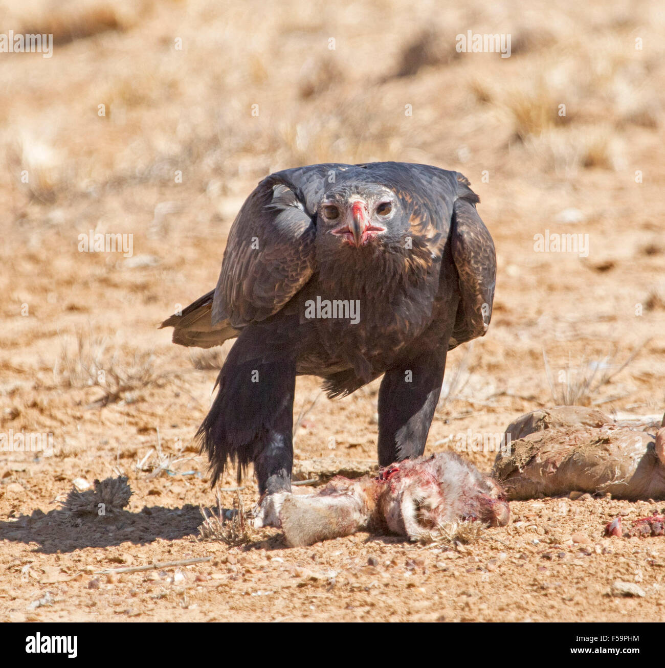 Majestic wedge-tailed eagle, Aquila audax, feeding on remains of carcass of kangaroo & staring at camera in - Stock Image