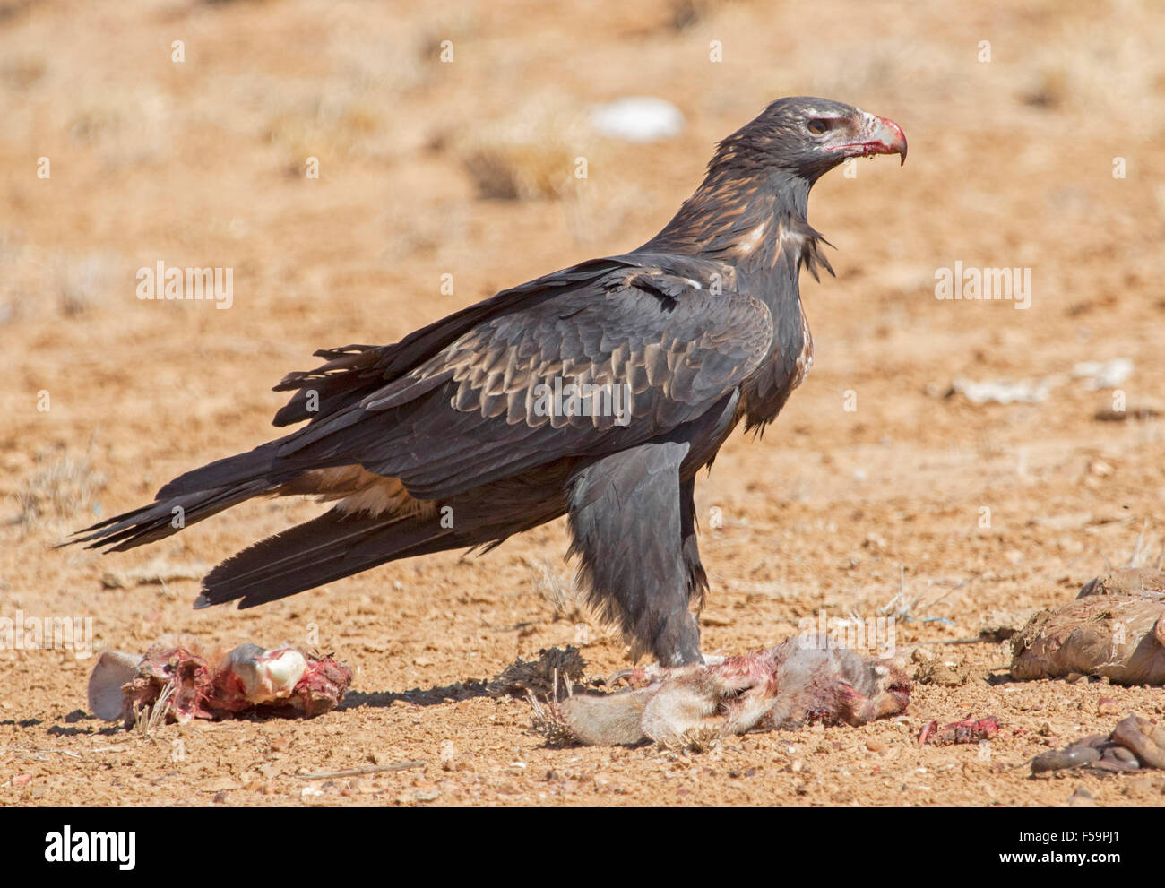 Majestic wedge-tailed eagle, Aquila audax, with blood on bill, feeding on remains of carcass of kangaroo in outback - Stock Image