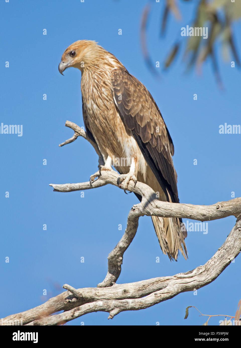 Beautiful whistling kite, Haliastur sphenurus, raptor perched on branch of dead tree against blue sky in outback Australia Stock Photo