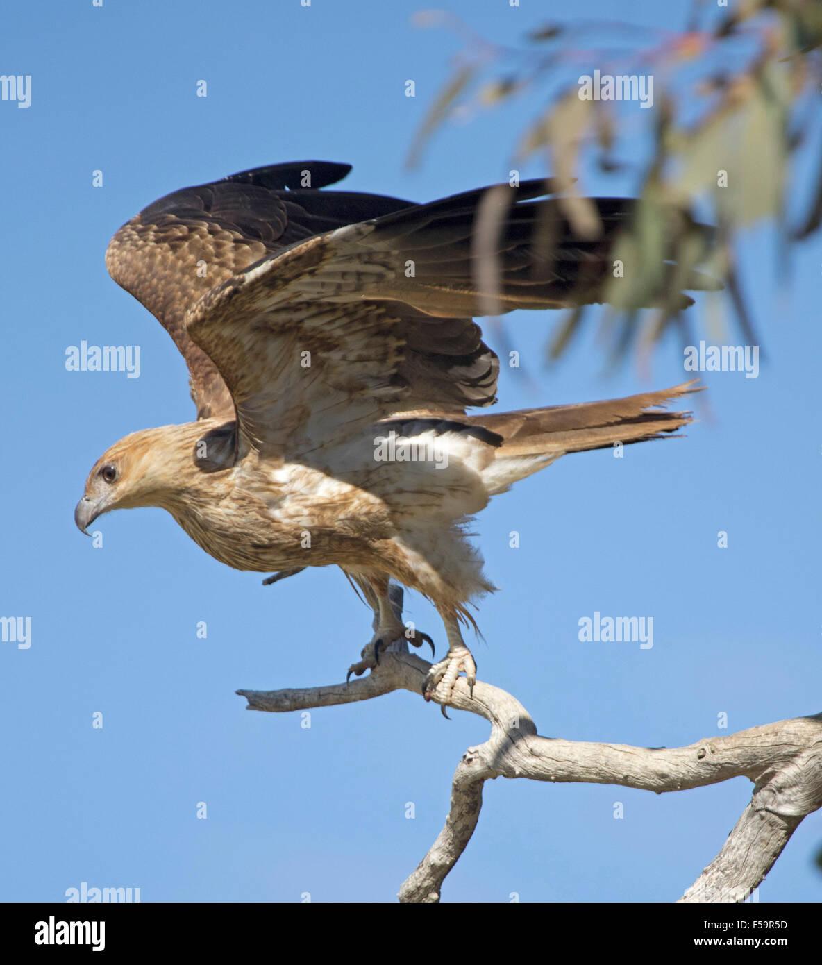 Whistling kite, Haliastur sphenurus, launching into flight from dead tree, wings raised against blue sky in outback Australia Stock Photo