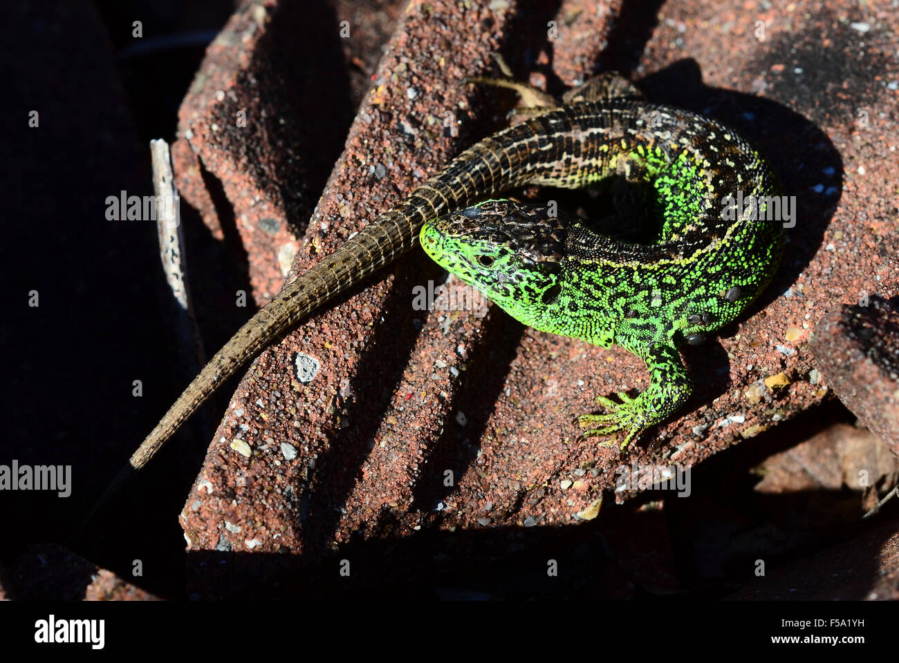 Male sand lizard on some tiles Dorset UK - Stock Image