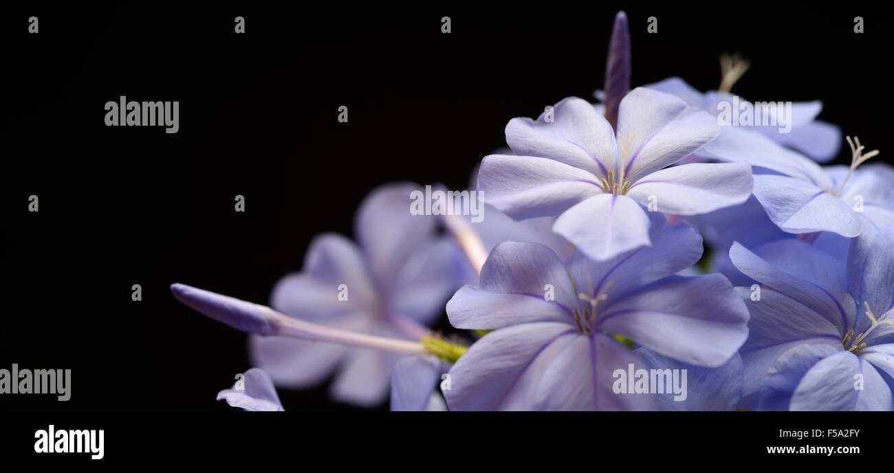 blue flower close up - Stock Image