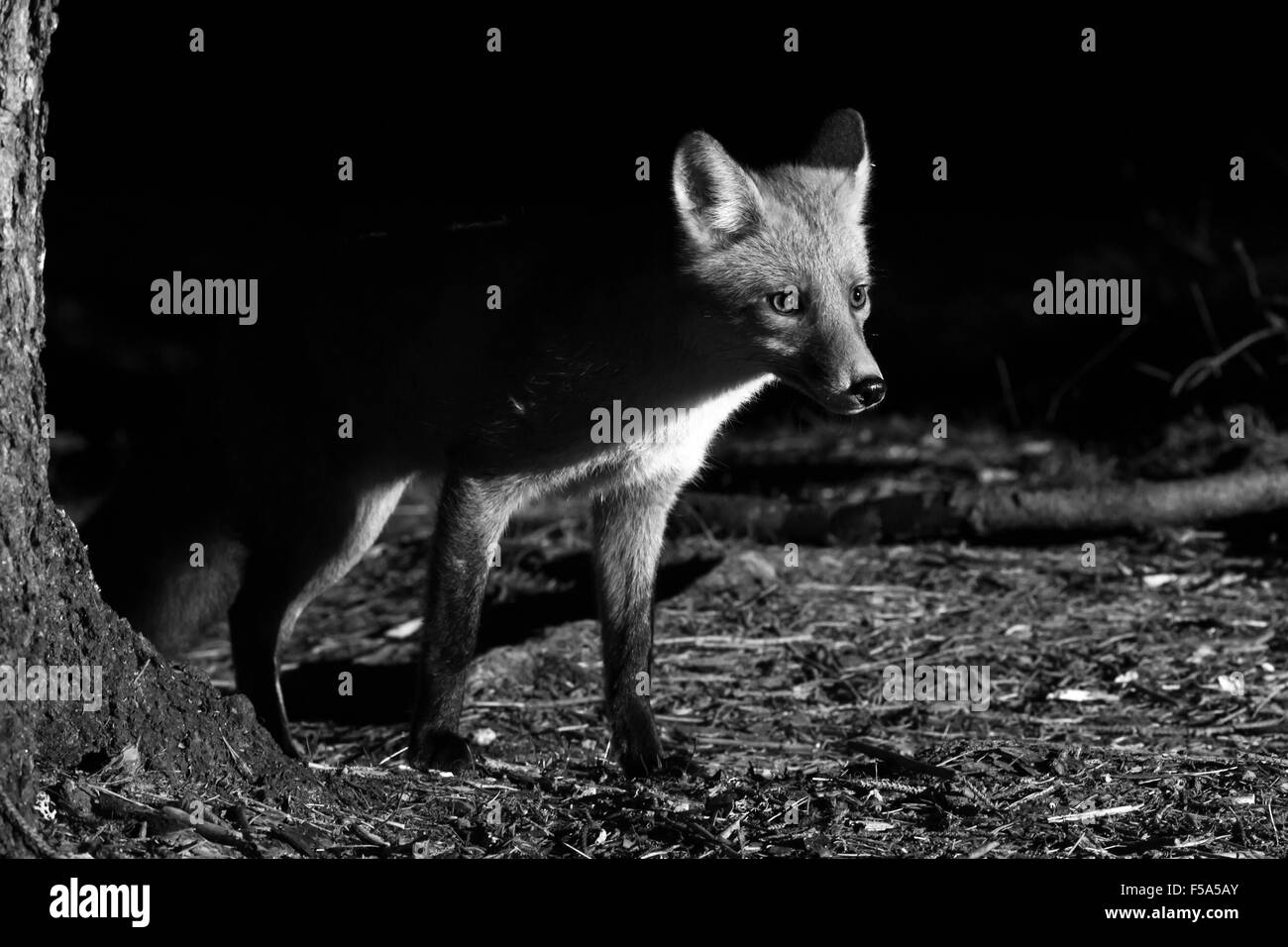 Fox night photography hunting - Stock Image