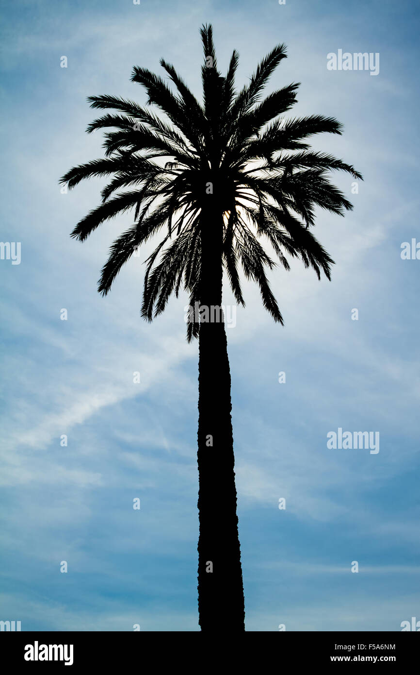 Backlighting Palm Tree against a blue sky - Stock Image