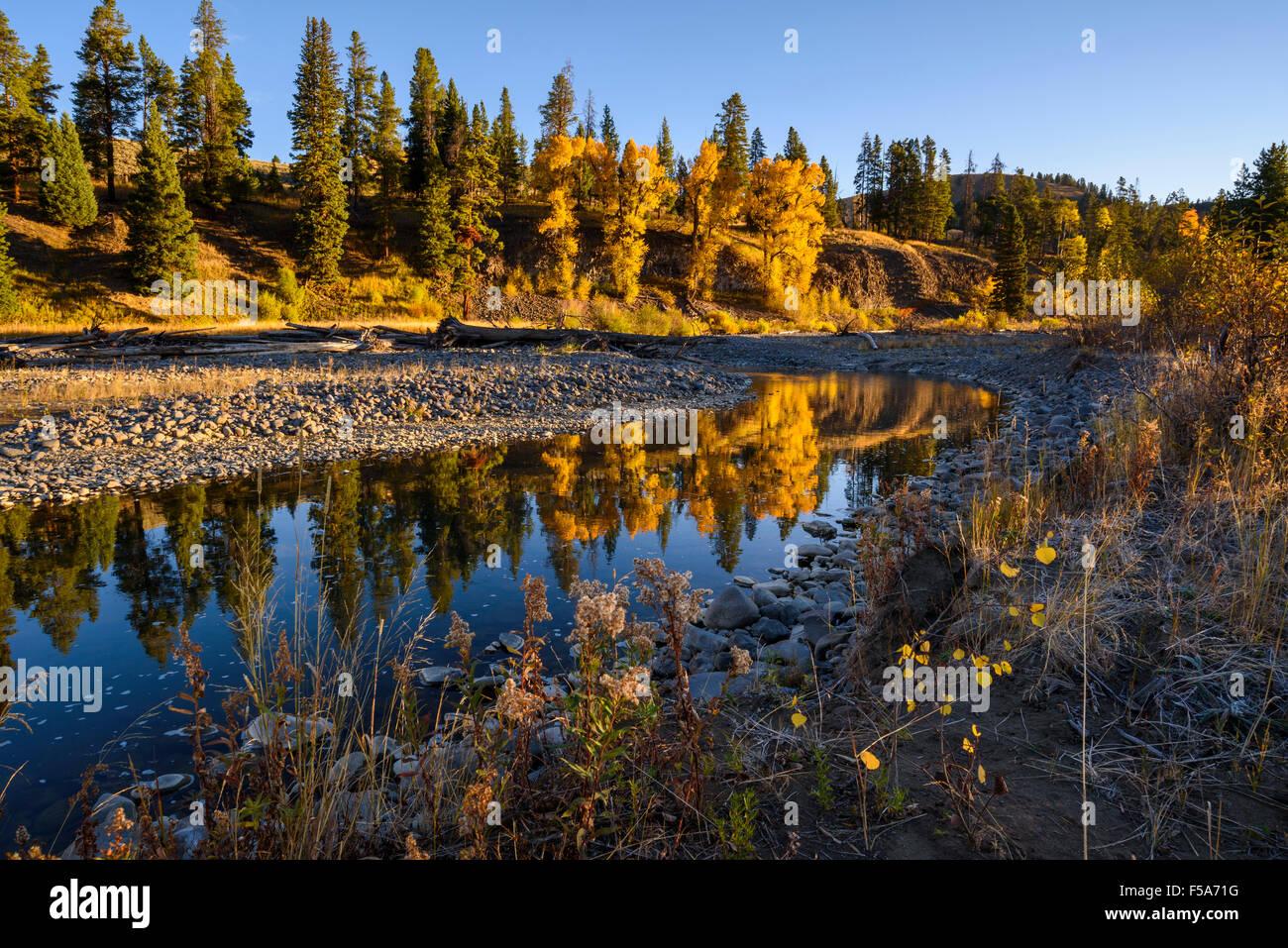 Cottonwood trees, Populus sp., Cache Creek, Yellowstone National Park, Wyoming, USA - Stock Image