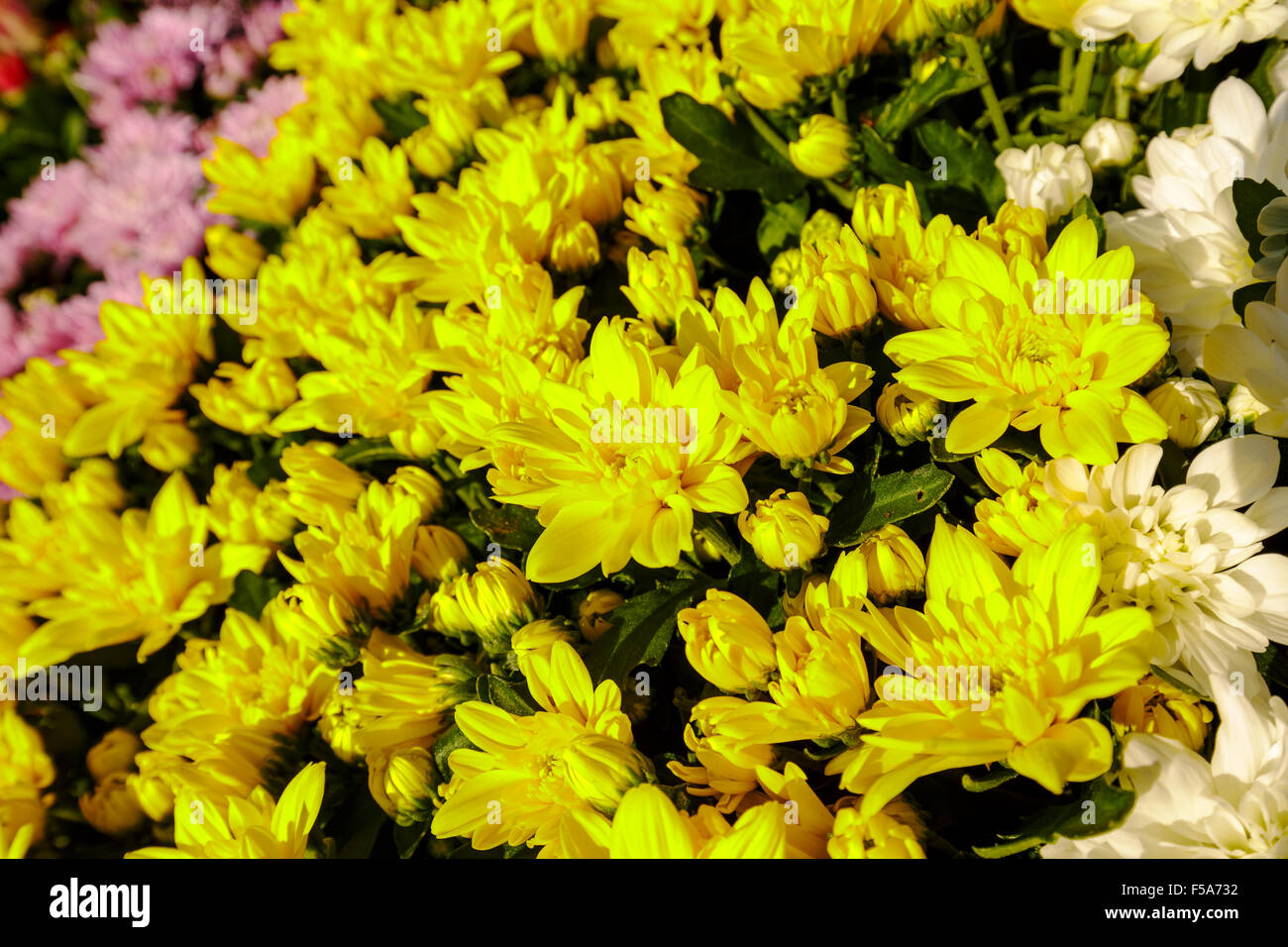 Yellow Aster Flowers Background Stock Photo 89350214 Alamy
