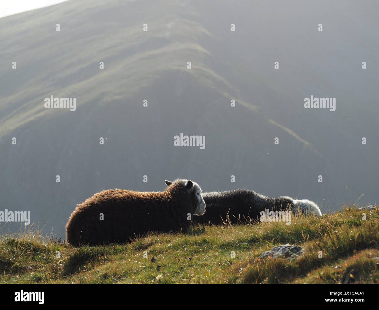 Sunlit Herdwick sheep on grassy hill fells above Borrowdale Cumbria  Lake District  with shadowy slopes in background - Stock Image