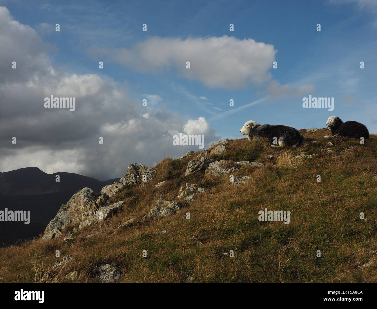 Herdwick sheep on sunlit rocky fells above Borrowdale Cumbria  Lake District  with shadowy hills and blue skies - Stock Image