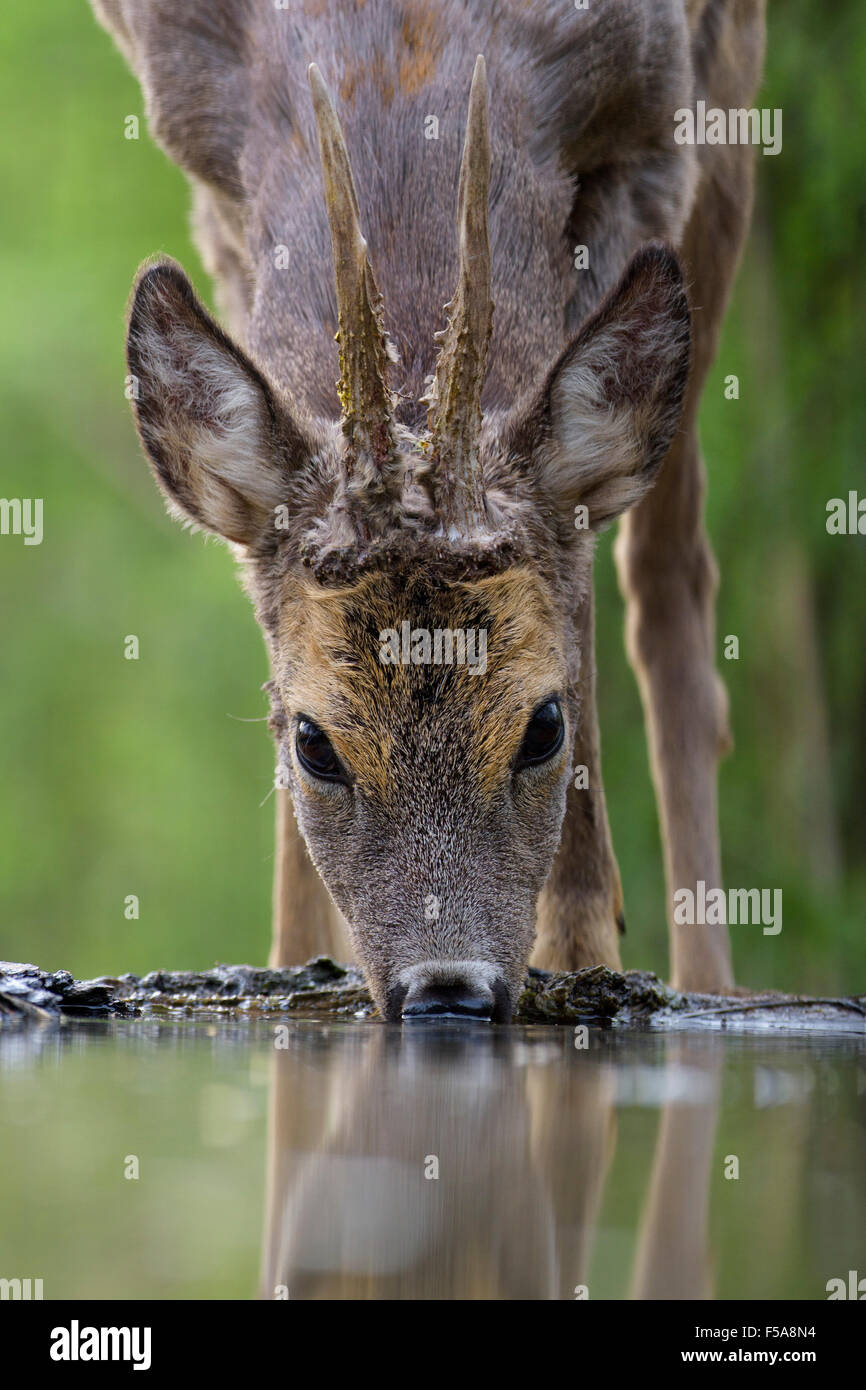 Roe deer (Capreolus capreolus) roebuck drinking at forest waterhole, Kiskunság National Park, Hungary - Stock Image