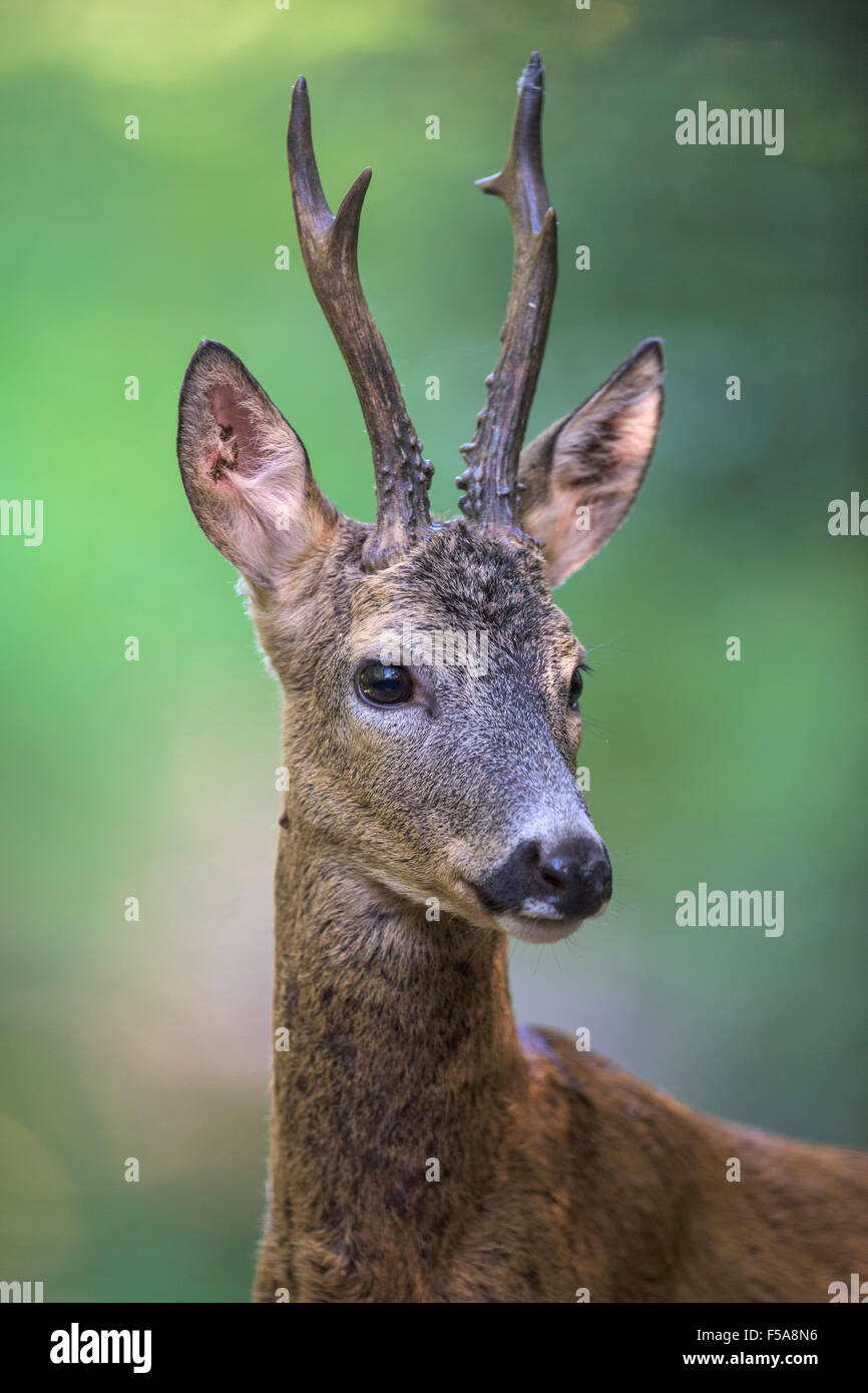 Roe deer (Capreolus capreolus) roebuck in summer coat, portrait, Kiskunság National Park, Hungary - Stock Image
